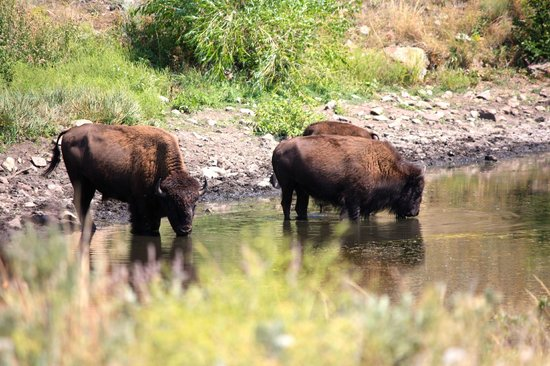 Custer State Park: Watering hole - it pays to take the back roads!