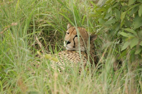 Londolozi Tree Camp: Cheetah resting - an exceptionally beautiful animal!