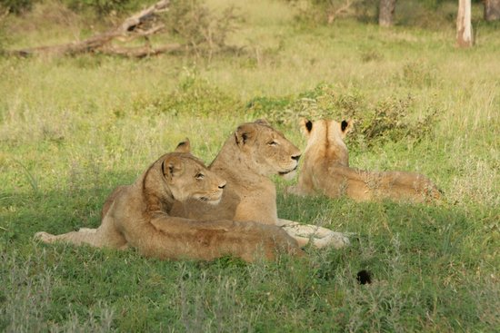 Londolozi Tree Camp: Lovely lionesses