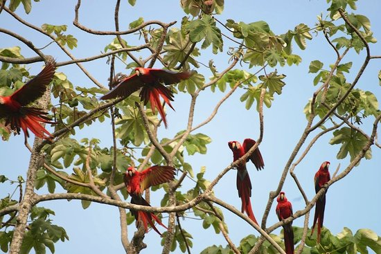 Carate, Costa Rica: Macaws