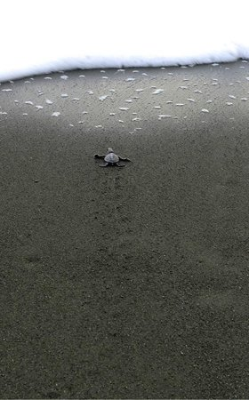 Carate, Costa Rica: BAby sea turtles sees the ocean for the first time!