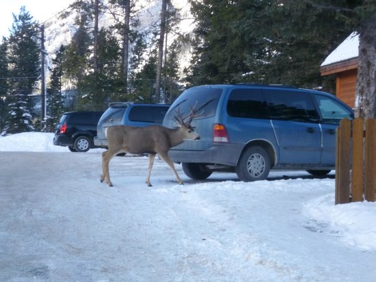 HI-Banff Alpine Centre: Yep... deer just chill in the carpark there next to the reception desk..!