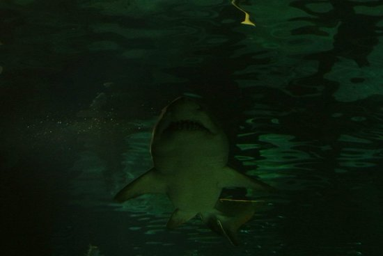 Low Ceiling In Tunnel Very Close Sharks Picture Of Sea Life Minnesota Aquarium Bloomington