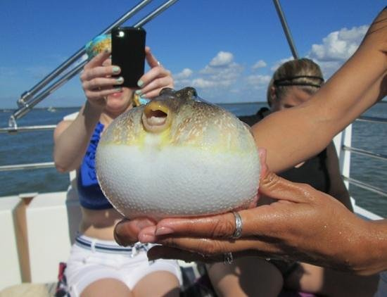 Brown smooth pufferfish picture of good time charters for Puffer fish florida