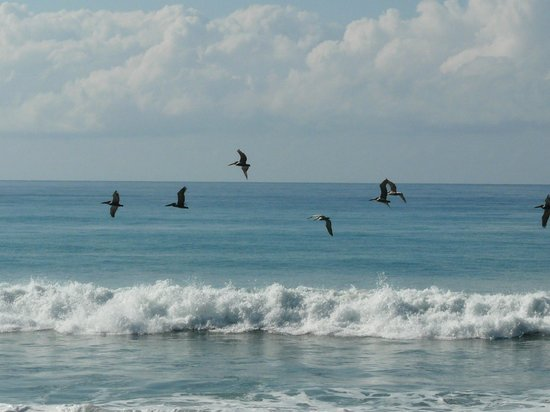 Lookout Inn Lodge: Brown Pelicans and the gorgeous Pacific