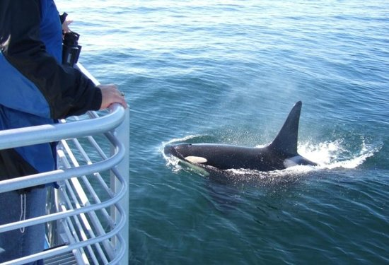 Otters Pond Bed and Breakfast: Orca whale on our excursion