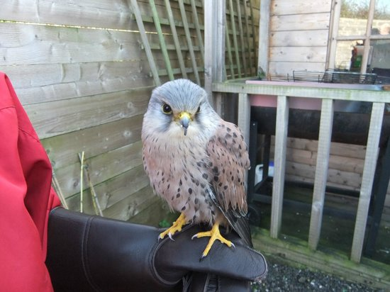 Knutsford, UK:                   Gauntlet Birds of Prey