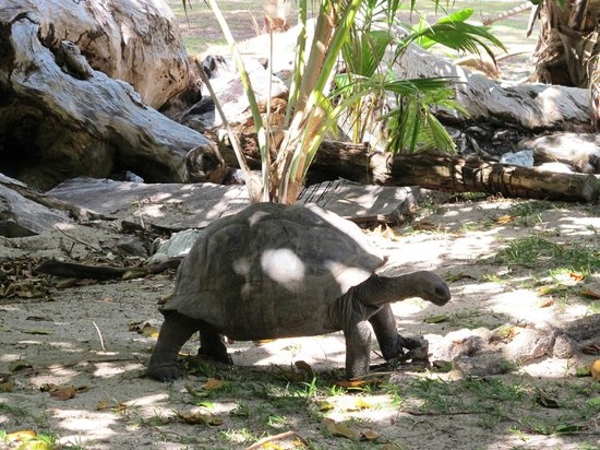 Curieuse Island: One of the giant tortoises that live free on the island