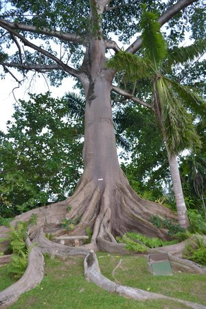 Couples Sans Souci:                   Amazing tree