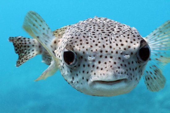 Giant porcupine puffer fish picture of manta ray dives for Porcupine puffer fish