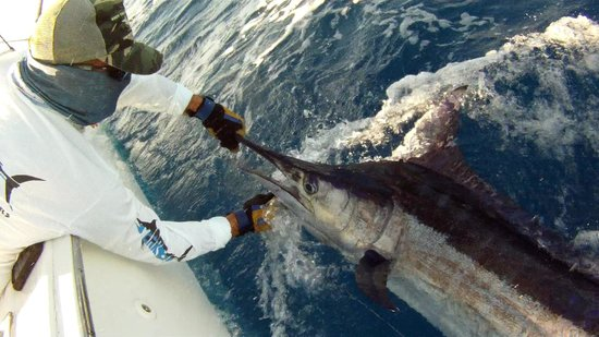 December blue marlin picture of parguera fishing for Puerto rico fishing charters