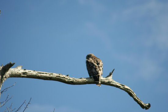 Rainbow Rivers Club:                   Red tail hawk by the river