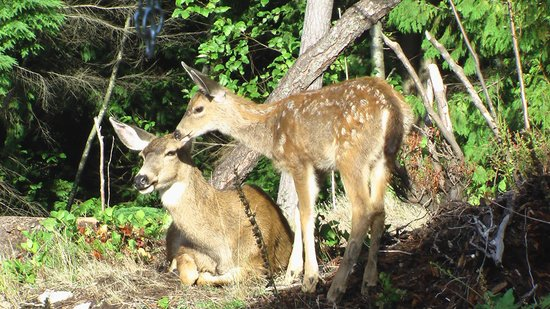 Bowen Island Hideaway: Deer come and rest on our property.