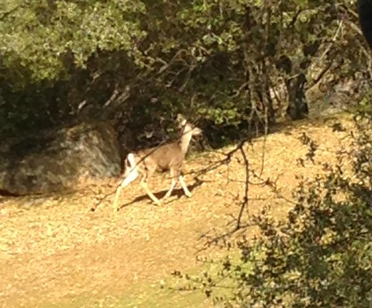 Ahwahnee, CA:                   Deer that grazes on the side of our cottage/cabin