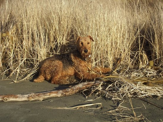 Copalis Beach, Waszyngton:                   Our lovely Airedale, Darby
