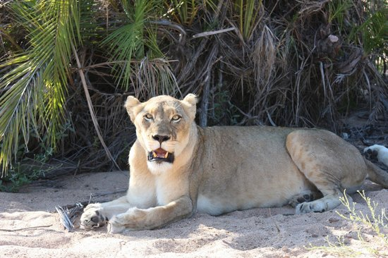 Tanda Tula Safari Camp:                   Lioness