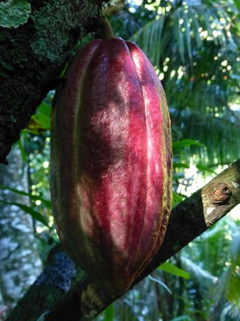 Cocoa Cottages:                   Cacao Pod