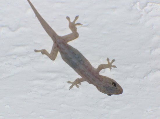 Hotel Suites la Siesta:                                     our nightly gecko visitor