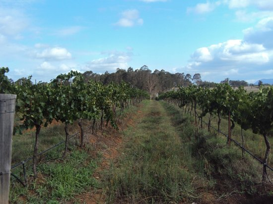 DenMar Estate:                   Grape Vines