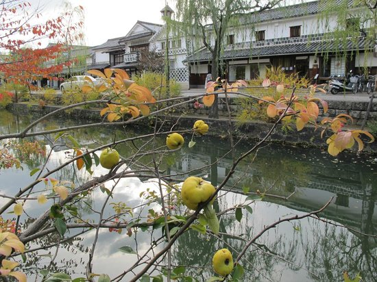 Quince fruit in Old Kurashiki.