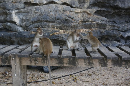 Crab-Eating Macaques on the Ao Nang Beach side of the Ao ...