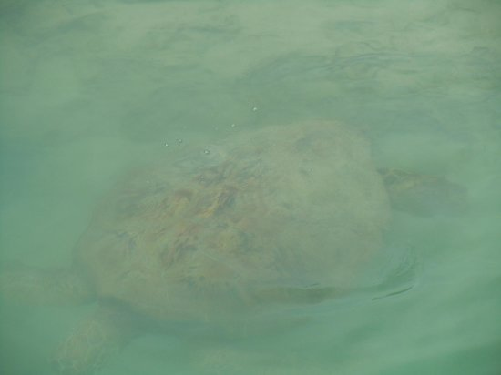 Aquana Beach Resort:                                     80 year old turtle near Pang Pang