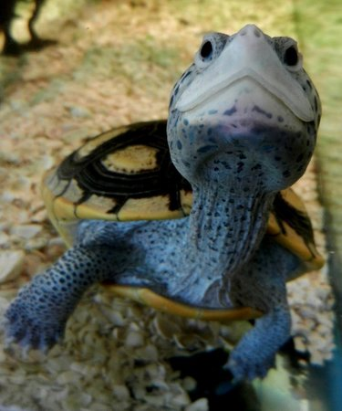 Friendly turtle on Blind Pass Condominiums grounds