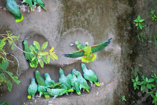 La Selva Amazon Ecolodge:                   Parrots at the clay lick