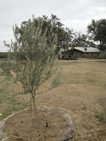 Wimberley, TX:                   A young olive tree on the grounds has smooth gray bark; older olive trees beco