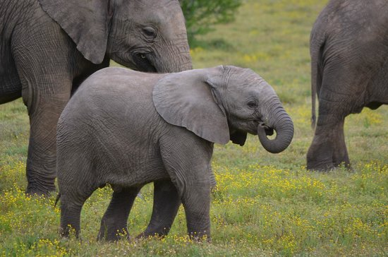 Shamwari Game Reserve Lodges:                                     Stunning baby elephant staying close to her mom