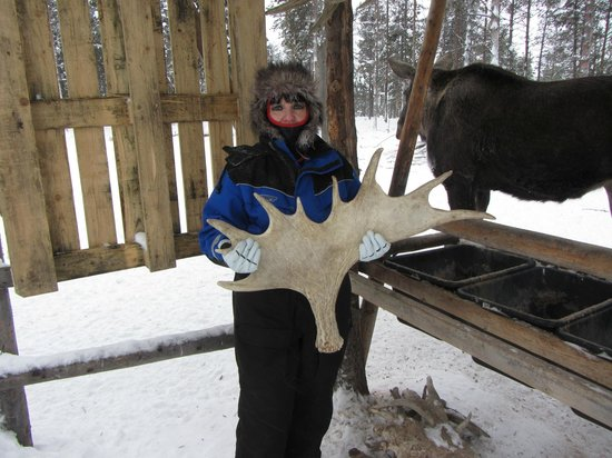 Vittangi, Sweden:                   Moose antler from a 6yrs old