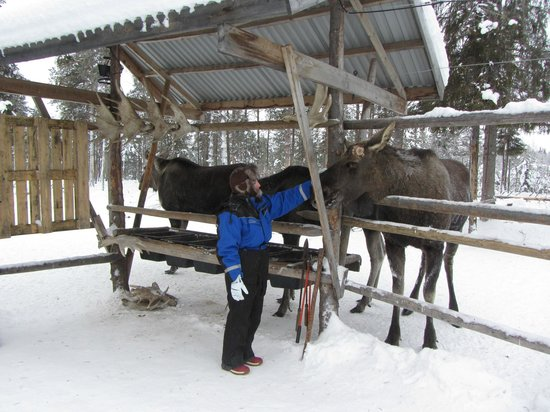 Vittangi, Sweden:                   friendly mooses