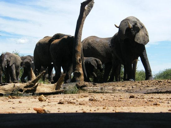 The Bush House:                   elephants by the water hole