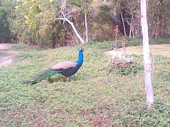 Trident Udaipur: Peacock on the hotel property