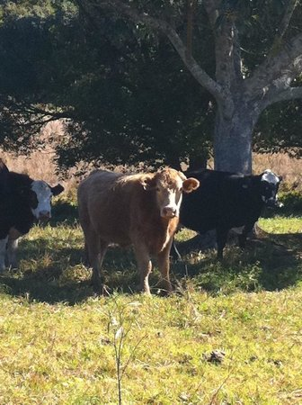 Ewingsdale, Australia:                   These little cows greet you in the morning as you head out of studio 58