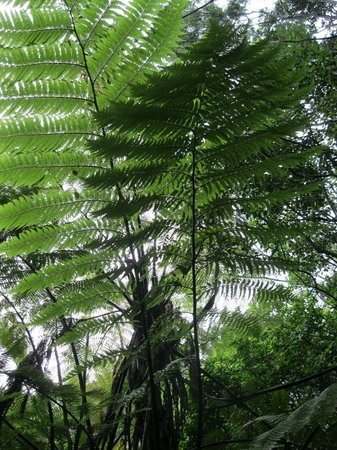 Paihia, New Zealand: The beautiful fern tree