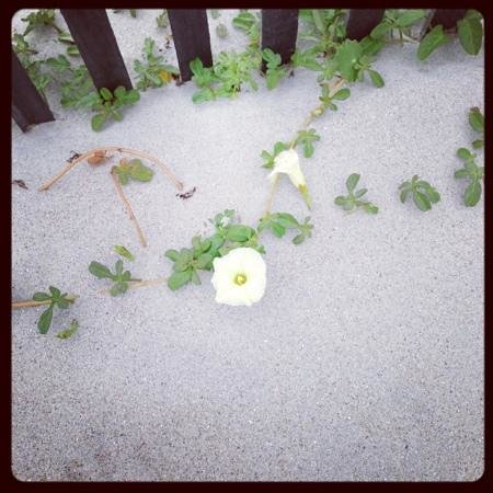 Ocean Isle Inn:                   morning glories in the sand!