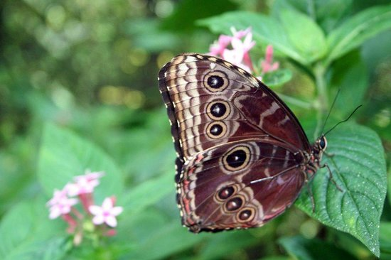 Los Lagos Hotel Spa & Resort:                   blue morpho butterfly