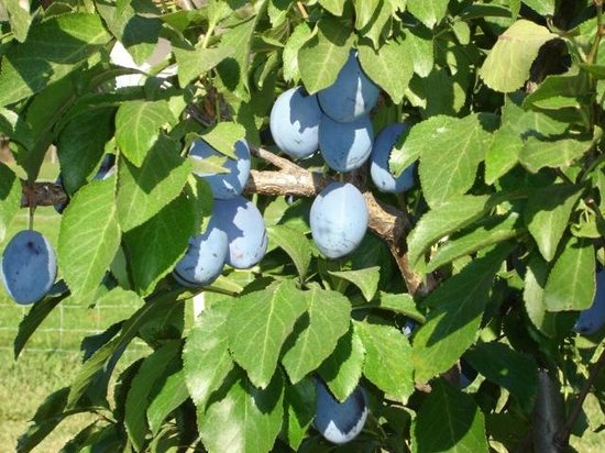 Summerland, Canada: Glenoka farm plums