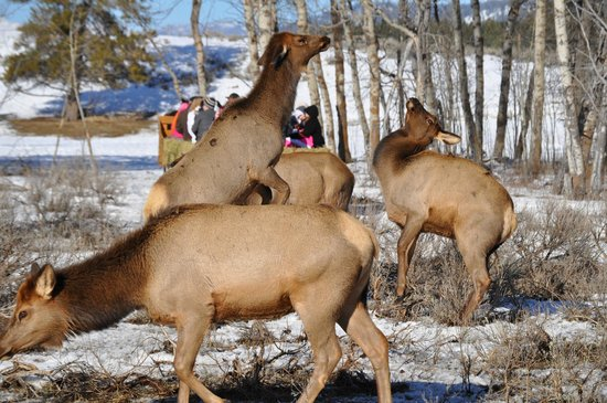 Donnelly, Idaho:                   Alpha female Elk displaying over food rights