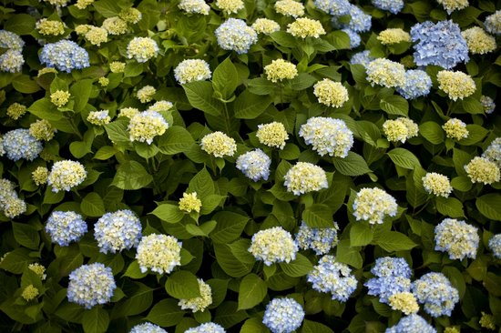 Woods Hole Passage Bed & Breakfast Inn: Nothing says the Cape like hydrangeas coming into their own.