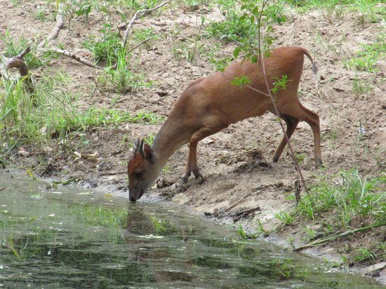 Bushwillow Lodge:                   Red Duiker by the water hole and hide