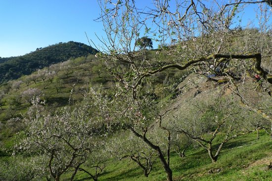 Colmenar, Espagne :                                     Almond trees in blossom, just outside the villa