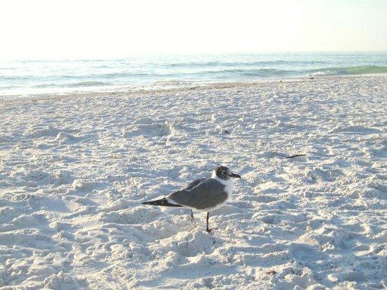 The Capri at Siesta:                                     Seagull on the powder sand
