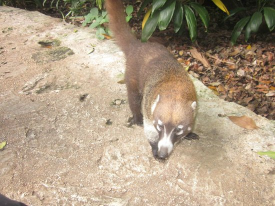 Iberostar Quetzal Playacar: Coati