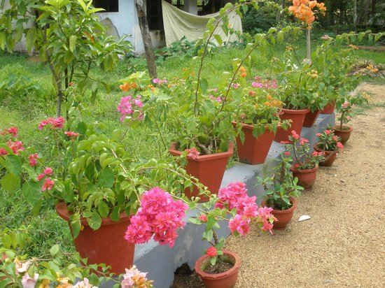 Thevercad Alleppey Homestay:                   the wonderful flowers in the private garden