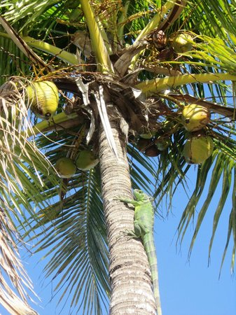 Rock Reef Resort:                   Going for Coconuts!!