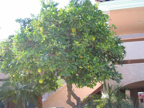 La Fuente Inn & Suites:                   Being from Canada were we facinated by fruit trees in November!