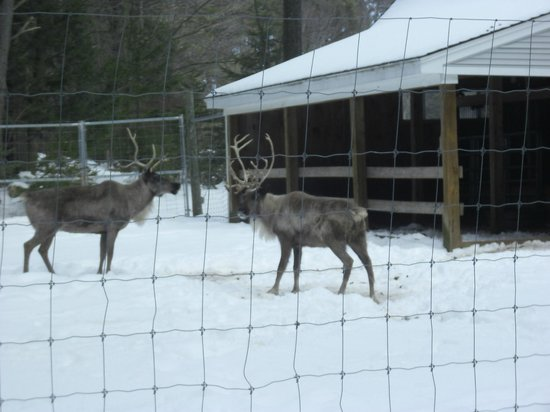Candia, NH:                   Reindeer at Charmingfare Farm