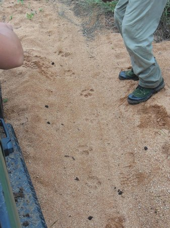 Toro Yaka Bush Lodge:                   Fresh leopard tracks